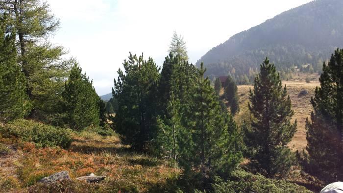 Am Bild ein Zirbenwald bzw. ein Zirbenbaum
